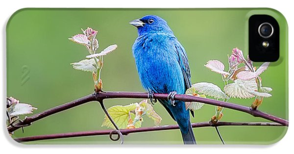 Indigo Bunting Perched IPhone 5s Case