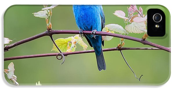 Indigo Bunting Perched Square IPhone 5s Case by Bill Wakeley