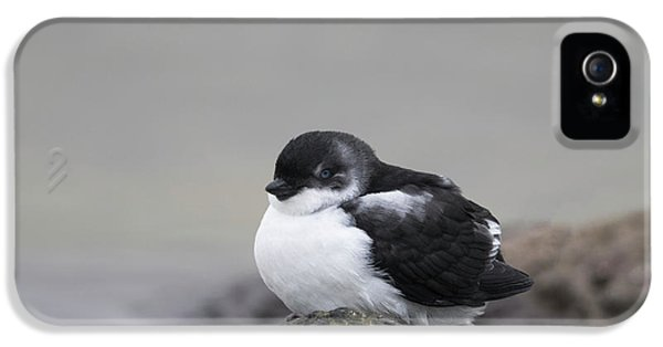 Auklets iPhone 5s Case - Least Auklet by Tom Ingram