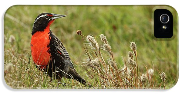 Meadowlark iPhone 5s Case - Long-tailed Meadowlark by Bruce J Robinson