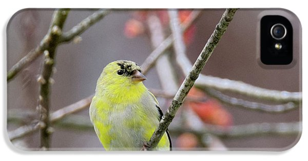 IPhone 5s Case featuring the photograph Molting Gold Finch Square by Bill Wakeley