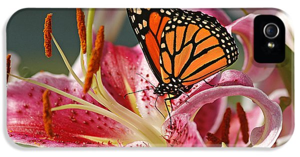 Lily iPhone 5s Case - Monarch On A Stargazer Lily by Cindi Ressler