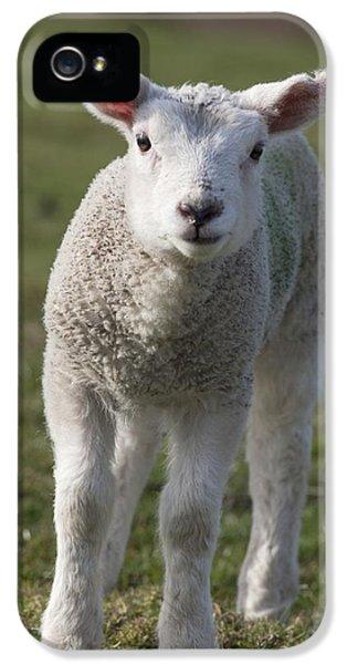 Sheep iPhone 5s Case - Northumberland, England A White Lamb by John Short