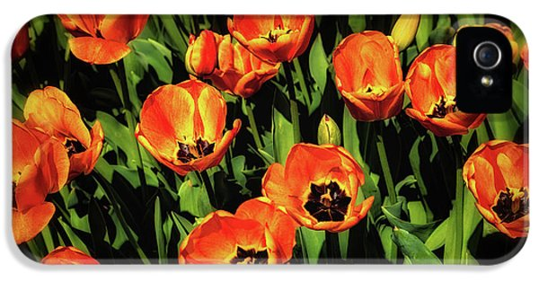Tulip iPhone 5s Case - Open Wide - Tulips On Display by Tom Mc Nemar