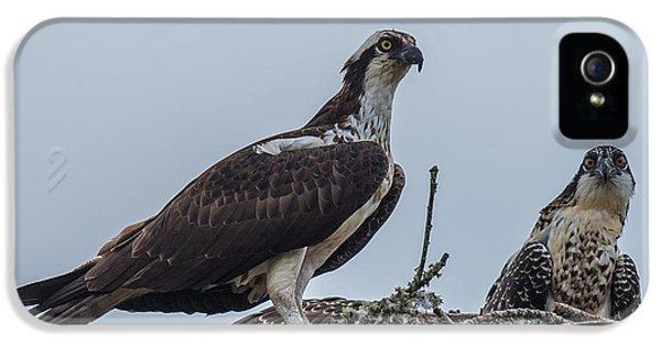 Osprey On A Nest IPhone 5s Case by Paul Freidlund
