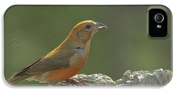 Crossbill iPhone 5s Case - Red Crossbill by Constance Puttkemery