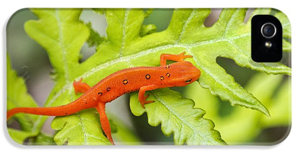 Red Eft Eastern Newt IPhone 5s Case by Christina Rollo