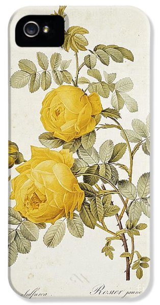 Garden iPhone 5s Case - Rosa Sulfurea by Pierre Redoute
