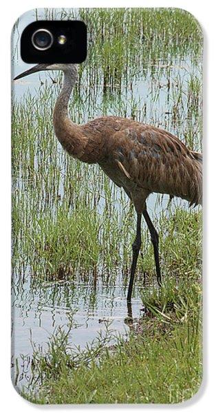 Crane iPhone 5s Case - Sandhill In The Marsh by Carol Groenen