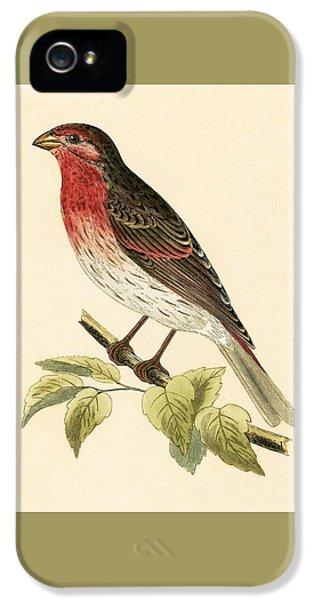 Scarlet Bullfinch IPhone 5s Case