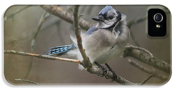 Bluejay iPhone 5s Case - Shelter From The Wind by Susan Capuano