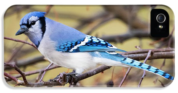 The Winter Blue Jay  IPhone 5s Case by Ricky L Jones