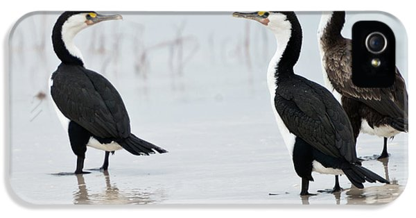 Three Cormorants IPhone 5s Case by Werner Padarin