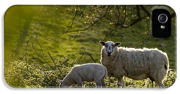 Sheep iPhone 5s Case - Under The Setting Sun by Angel Ciesniarska