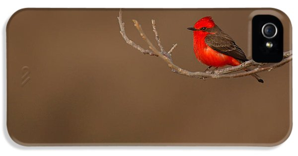 Flycatcher iPhone 5s Case - Vermillion Flycatcher On Early Spring Perch by Max Allen