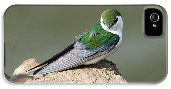 Swallow iPhone 5s Case - Violet-green Swallow by Mike Dawson
