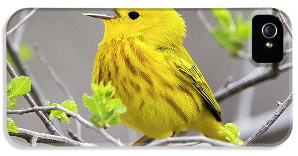 Yellow Warbler  IPhone 5s Case by Ricky L Jones