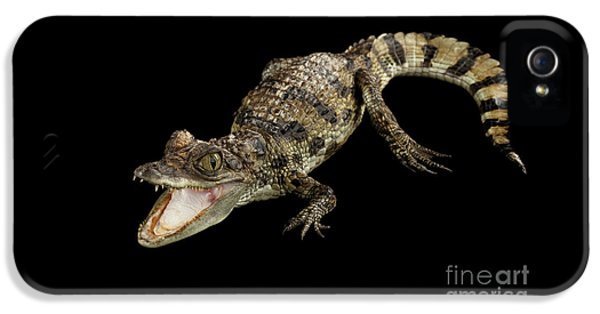 Young Cayman Crocodile, Reptile With Opened Mouth And Waved Tail Isolated On Black Background In Top IPhone 5s Case by Sergey Taran