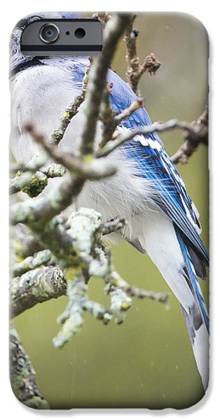 Blue Jay In The Rain IPhone 6 Case