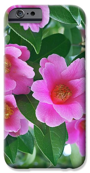 Donation iPhone 6 Case - Camellia X Williamsii 'donation' by Neil Joy/science Photo Library