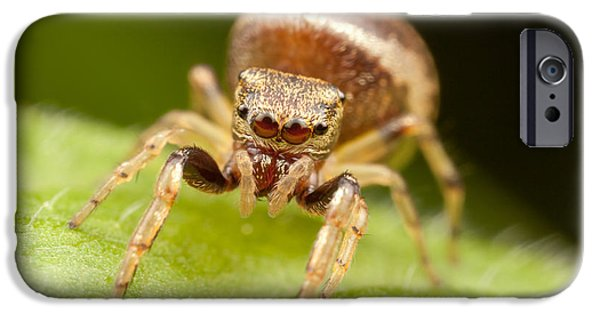 Arachnida iPhone Cases - Hammerjawed Jumper I iPhone Case by Clarence Holmes