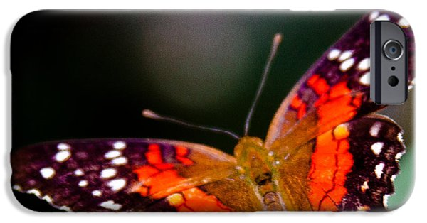 Buterfly iPhone Cases - Scarlet Peacock Butterfly - Anartia amathea iPhone Case by David Patterson