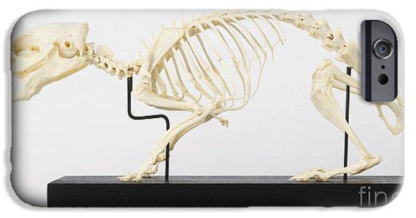 skeleton of a guinea pig cavia porcellus paul bricknell dorling kindersley pig skull iphone 6 cases fine art america
