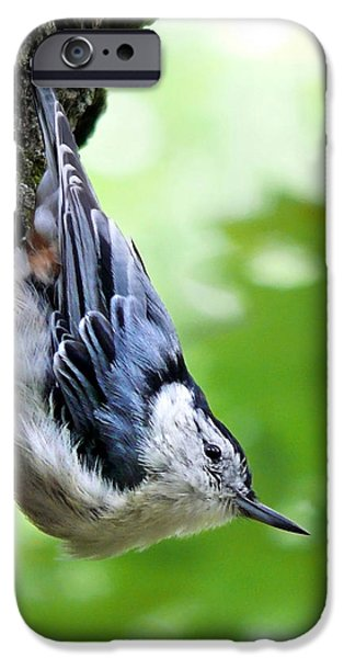 White Breasted Nuthatch IPhone 6 Case by Christina Rollo