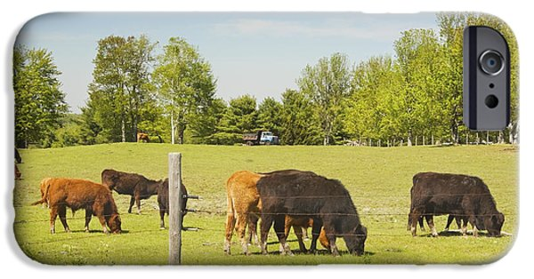 Barbed Wire Fences iPhone Cases - Cows Grazing On Grass In Maine Farm Field Spring iPhone Case by Keith Webber Jr