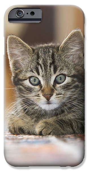 Pet Photography iPhone Cases - Domestic Cat Felis Catus Kitten iPhone Case by Konrad Wothe