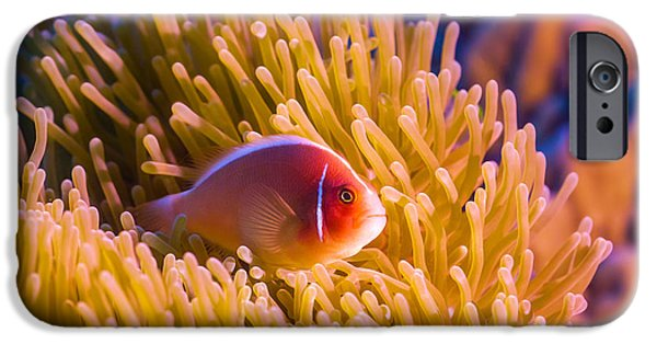 Clown Fish Photographs iPhone Cases - Tropical fish Pink clownfish iPhone Case by MotHaiBaPhoto Prints
