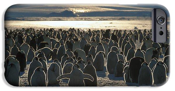 Baby Bird iPhone Cases - Emperor Penguin Aptenodytes Forsteri iPhone Case by Pete Oxford