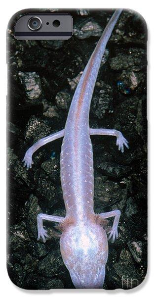 Fauna iPhone Cases - Austin Blind Salamander iPhone Case by Dante Fenolio