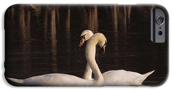 A Painting Of A Pair Of Mute Swans IPhone 6 Case by John Edwards