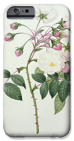 Plant Drawings iPhone Cases - Adelia aurelianensis iPhone Case by Pierre Joseph Redoute