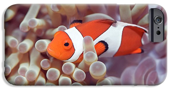 Clown Fish Photographs iPhone Cases - Anemone and Clown-fish iPhone Case by MotHaiBaPhoto Prints