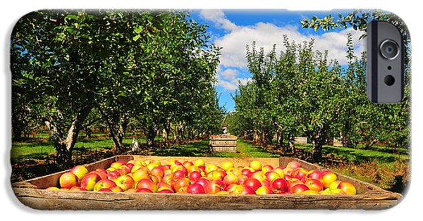 Ice Wine iPhone Cases - Apple Picking Season iPhone Case by Catherine Reusch  Daley