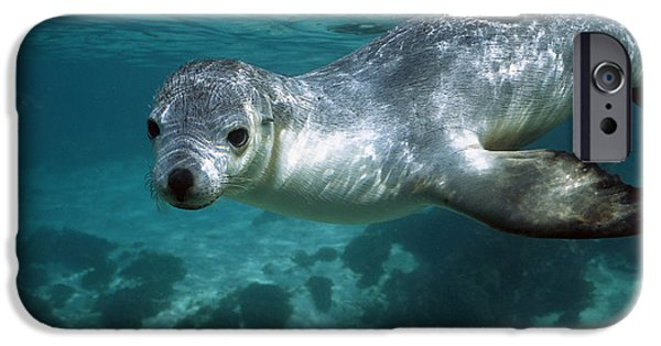 Sea Lions iPhone Cases - Australian Sea Lion Neophoca Cinerea iPhone Case by Hiroya Minakuchi