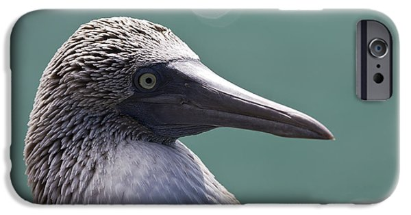 Boobies iPhone Cases - Blue Footed Booby II iPhone Case by Dave Fleetham