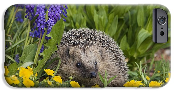 Bayern iPhone Cases - Brown-breasted Hedgehog Erinaceus iPhone Case by Konrad Wothe