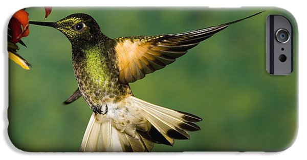 Coronet iPhone Cases - Buff-tailed Coronet Boissonneaua iPhone Case by Tom Vezo