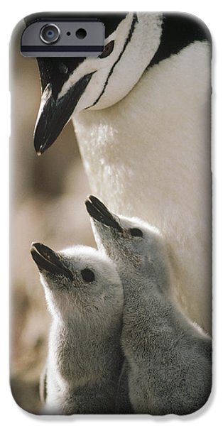 Begging iPhone Cases - Chinstrap Penguin Pygoscelis Antarctica iPhone Case by Tui De Roy