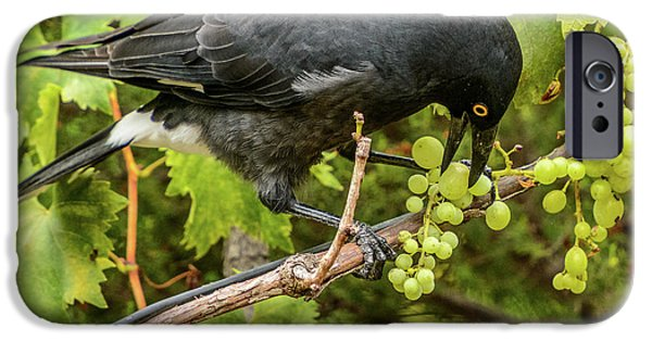 Currawong On A Vine IPhone 6 Case