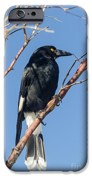 Currawong IPhone 6 Case by Werner Padarin