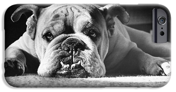 Domesticated Animals iPhone Cases - English Bulldog iPhone Case by M E Browning and Photo Researchers