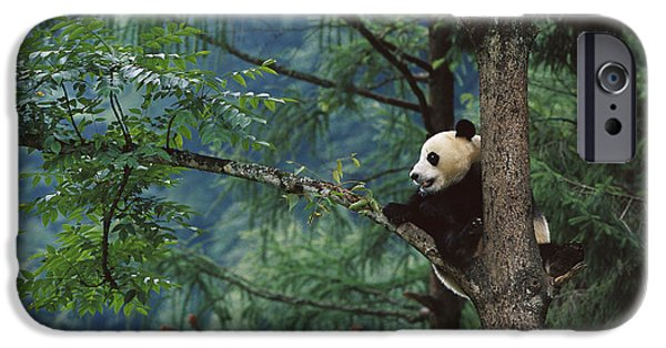The Nature Center iPhone Cases - Giant Panda Ailuropoda Melanoleuca iPhone Case by Cyril Ruoso