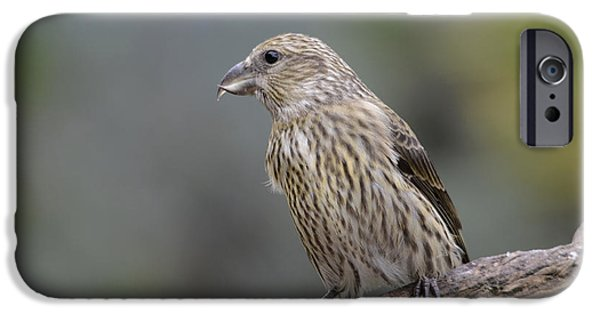 Crossbill iPhone Cases - Juvenile Common Crossbill iPhone Case by Perry Van Munster