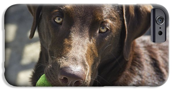 Chocolate Lab iPhone Cases - Lets Play Ball iPhone Case by Roger Wedegis