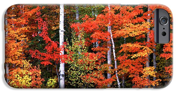 Maine iPhone Cases - Maple And Birch Trees In A Forest iPhone Case by Panoramic Images