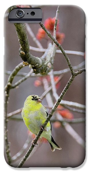 IPhone 6 Case featuring the photograph Molting Gold Finch by Bill Wakeley